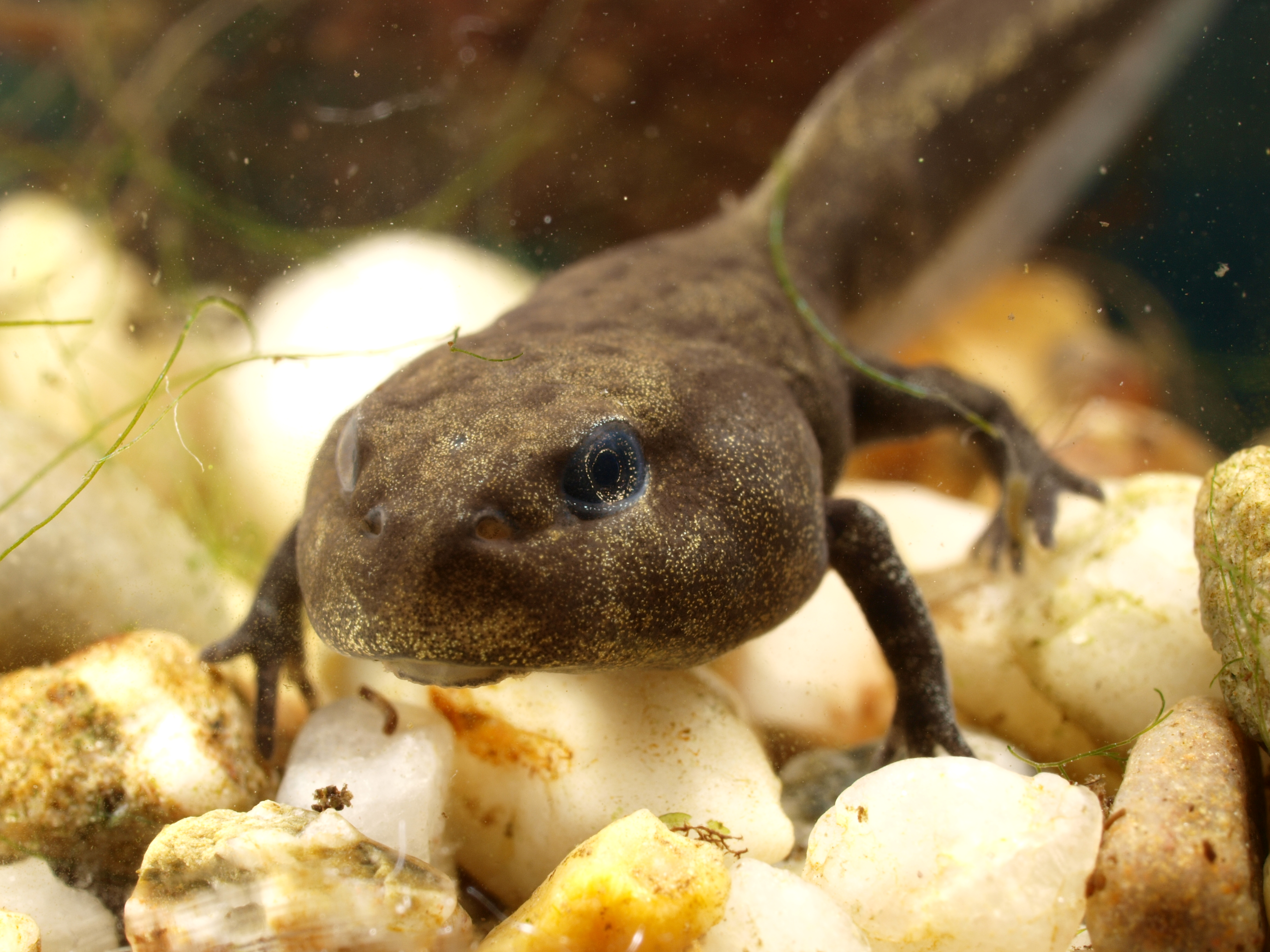 Kaulquappe einer Erdkröte