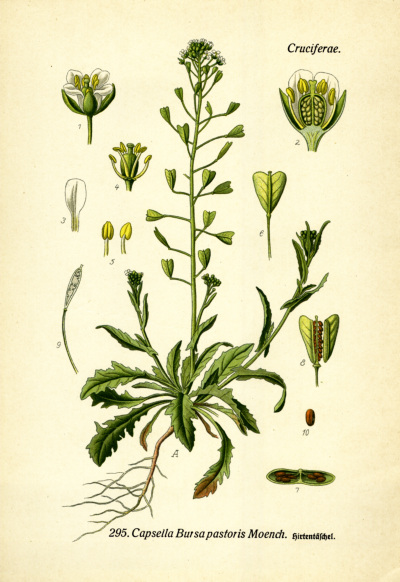 Wilde Kreuzblütler für die Küche – Hirtentäschel